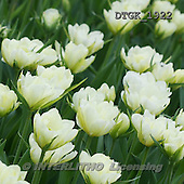 Gisela, FLOWERS, photos+++++,DTGK1922,#f#