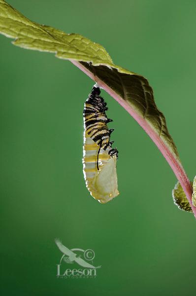 MONARCH BUTTERFLY life cycle..Pupation on Joe-Pye leaf. .North America. Danaus plexippus.