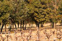 The truffle forest oak plantation and the vineyard at La Truffe de Ventoux truffle farm, Vaucluse, Rhone, Provence, France