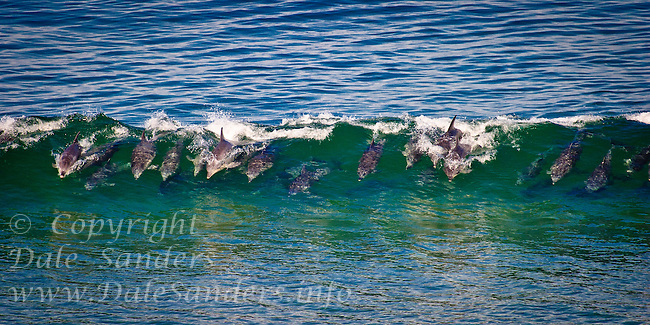 A large pod of Bottlenose Dolphin ( Tursiops truncatus )  surfing in waves off the beach at  Plettenburg Bay, South Africa.