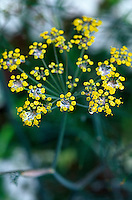 Close-up of Bronze Fennel flower head with water droplets