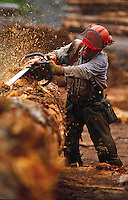 A logger ina hard hat uses a chainsaw on the trunk of a tree. Alaska.