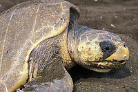nesting olive ridley sea turtle Lepidochelys olivacea with barnacle on beak Playa Ostional, Costa Rica, Pacific Ocean