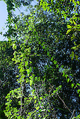 Mato Grosso State, Brazil. Aldeia Metuktire. Rainforest lianas.