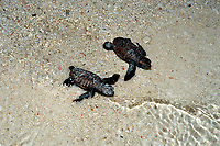 Baby Hawksbill Turtle runs on the beach to the see, Eretmochelys imbricata, Malaysia, Pacific ocean, Borneo, Sipadan