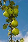 Golden Noble apples. An old variety of English eating apple.