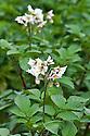 Flowers on potato plants, late June.