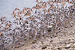 Guerroro Negro, Baja California Sur, Mexico; an aggregation of Marbled Godwit, Dunlin and Dowitcher birds taking flight along the shoreline at dusk