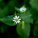 Common chickweed (Stellaria media), late May.