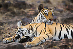 Bengal tigress (back) resting head on 11 months old male cub , late afternoon, dry season