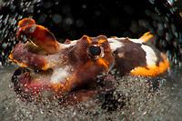 A flamboyant cuttlefish (Metasepia pfefferi). Lembeh Strait, Indonesia, echeng100303_0252358