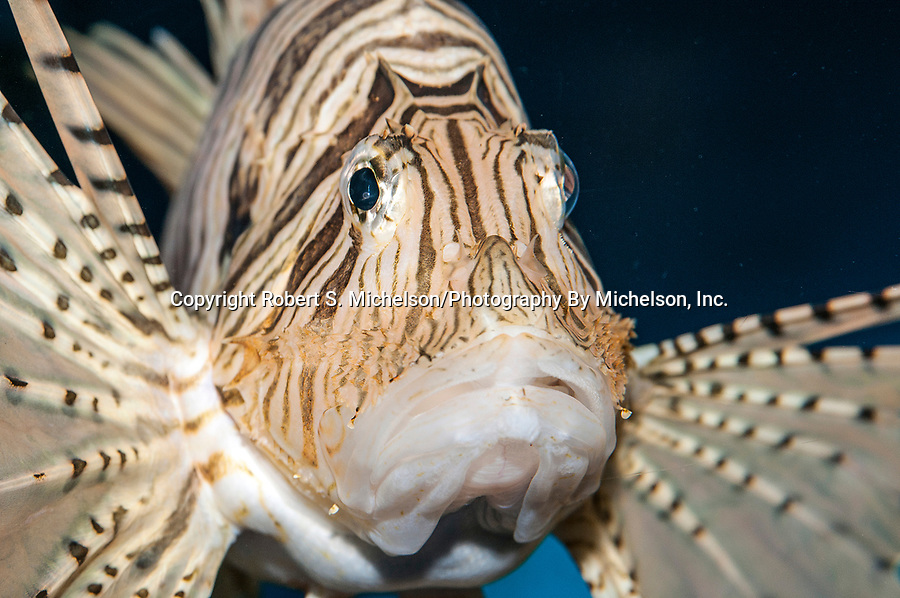 Red lionfish facing 45 degrees to camera close-up