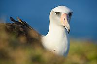 Laysan Albatross (Phoebastria immutabilis). Oahu, Hawaii. January.