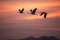 three sandhill cranes flying above the hills in New Mexico at sunset.birds, sunset, cranes, sandhill cranes, bosque del apache, new mexico.aundrea tavakkoly