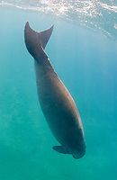 dugong, Dugong dugon, showing tail fluke, Egypt, Red Sea