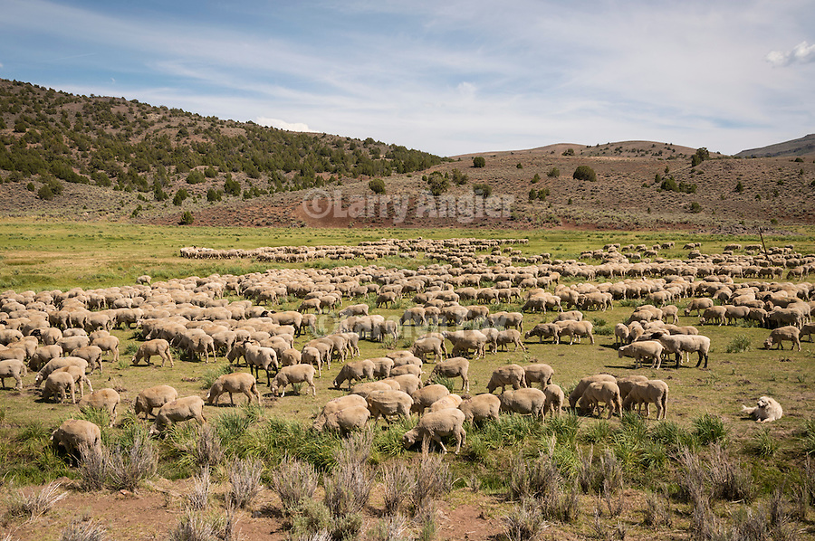 A flock of 1900 sheep graze in a meadow in the Bodie Hills of Calif.