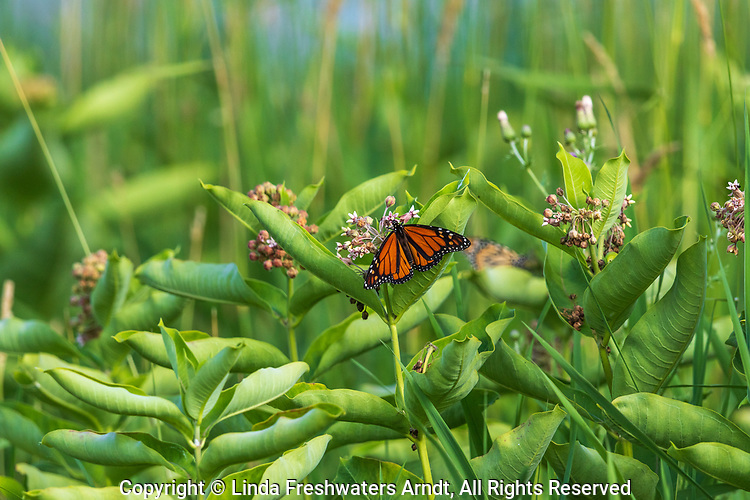 Monarch butterfly feeding on common milkweed in northern Wisconsin.