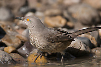 Curve-billed Thrasher (Toxostoma curvirostre). A desert bird native to the southwestern United States and Mexico. Texas, USA.