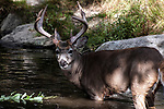 White-tailed Deer buck standing in pond near aquatic plants looking at camera