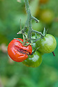 'Gardener's Delight' tomatoes with skins split due to irregular watering, mid September.