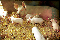 Outdoor pigs. Sow with piglets.