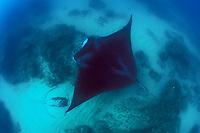 reef manta ray, Mobula alfredi, swimming, and bull ray, lying on bottom, N. Stradbroke Island, near Brisbane, Queensland, Australia