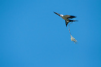 Swallow-tailed Kite (Elanoides forficatus) with Nest-Building, Corkscrew Swamp Sanctuary, Naples, Florida, US