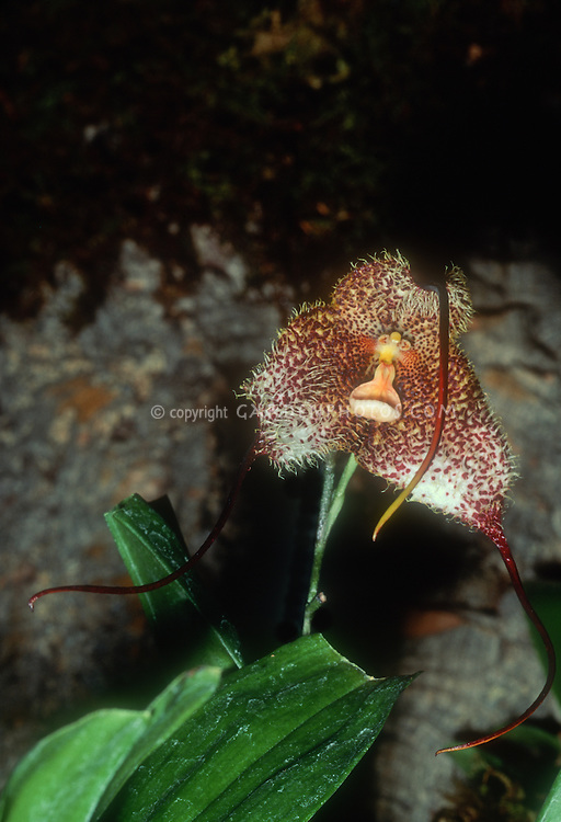 """Dracula gorgona, orchid species with a """"monkey"""" face. Named for the Greek mythological gorgons, three horrible sisters with hair of snakes"""