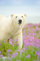 polar bear, Ursus maritimus, in purple fireweed, Epilobium angustifolium, approaches with caution on sub-arctic island at Hubbart Point, Hudson Bay, near Churchill, Manitoba, northern Canada, polar bear, Ursus maritimus