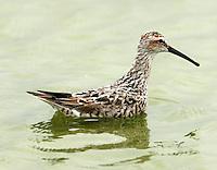 Stilt sandpiper adult breeding swimming in pond