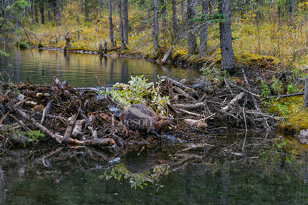 North American Beaver (Castor canadensis) carrying branches (for winter food) over dam it has made.  British Columbia, Canada.  Fall.