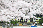 People rowing a boat view cherry blossoms in full bloom at Ueno Park in Tokyo, Japan on Friday, April 1st, 2016. On Thursday, the Japan Meteorological Agency announced that Tokyo's cherry trees were in full bloom, three days earlier than usual, but two days later than last year. (Photo by Shingo Ito/AFLO)