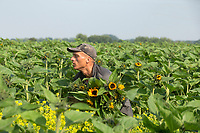 20-7-2021 Cropping sunflowers in the Lincolnshire Fens <br /> ©Tim Scrivener Photographer 07850 303986<br />      ....Covering Agriculture In The UK....