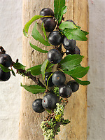 Fresh sloe berries fron the blackthorn bush (Prunus spinosa )