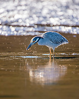 yellow-crowned night heron, Nyctanassa violacea (formerly Nycticorax violaceus), feeding on a pipefish, foraging in mud flats, Baja California, Mexico, Gulf of California, aka Sea of Cortez, Pacific Ocean