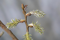 Sal-Weide, Salweide, weibliche Blüten, Blüte, Weibchen, Weide, Salix caprea, Goat Willow, Pussy Willow, Sallow, great sallow, female, blossom, blossoms, florescence, flowers, flower, Le Saule marsault, Saule des chèvres