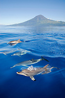 Atlantic spotted dolphin, Stenella frontalis, surfacing pod with pico mountain in background, Pico Island, Azores, Portugal, Atlantic Ocean