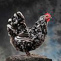 05/05/08 - LAMOTTE BEUVRON - LOIR ET CHER - FRANCE - Elevage avicole de Pascal BOVE. Poule Orpington cailloutee - Photo Jerome CHABANNE