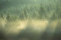 Europe/France/Limousin/Corrèze/Plateau de Millevache/Env de Sornac : Epicéas et brume matinale