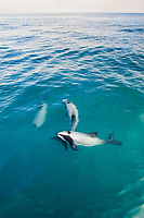 Hector's dolphin, Cephalorhynchus hectori, Akaroa, Banks Peninsula, South Island, New Zealand (South Pacific Ocean)