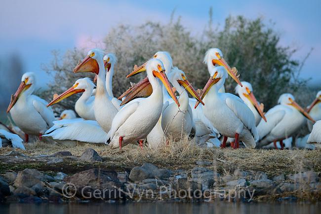 American White Pelican (Pelecanus erythrorhynchos) nesting colony. Lake County, Oregon. April.