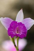 Altamira, Brazil. Purple flower.