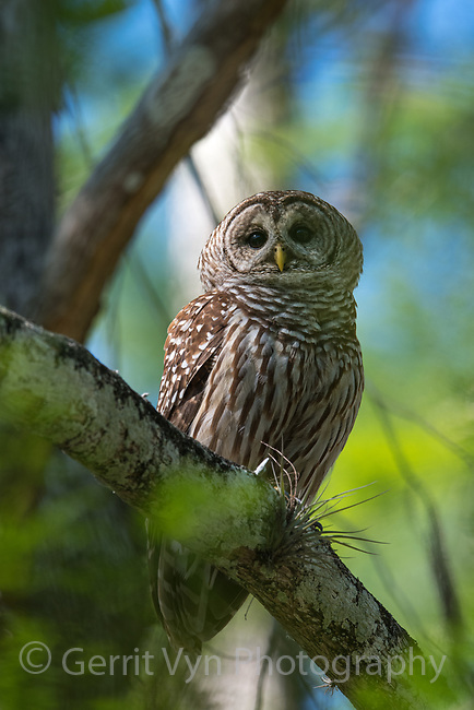 Barred Owl (Strix varia). Big Cypress National Preserve, Florida. March.