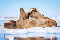 Atlantic walrus, Odobenus rosmarus rosmarus, herd, fighting, resting on ice floe, Lagoya, Svalbard, Norway, Atlantic Ocean