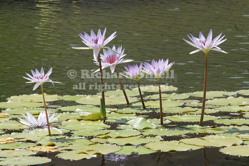 WOOD'S BLUE GODDESS TROPICAL WATER LILY, NYMPHAEA HYBRID