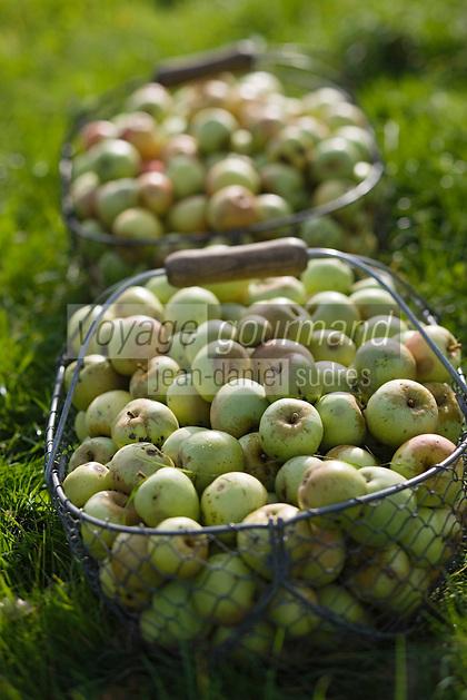 Europe/France/Normandie/Basse-Normandie/14/Calvados/Pays d'Auge/Saint-Laurent-du-Mont: producteur de cidre du Pays d'Auge -ramassage des pommes