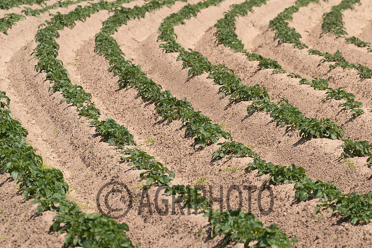 6-6-2021 Potatoes growing in the Lincolnshire Marsh  <br /> ©Tim Scrivener Photographer 07850 303986<br />      ....Covering Agriculture In The UK....