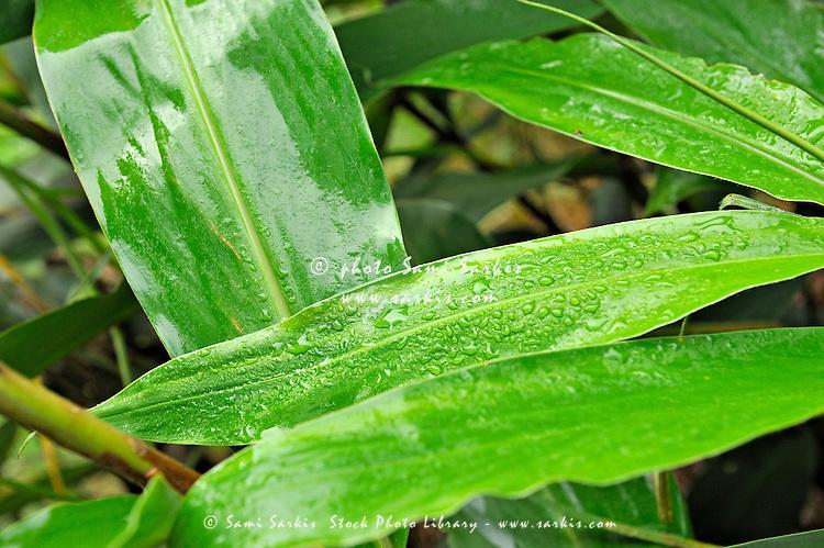 Water droplet on leaves after rain, Waimea canyon, Kauai Island, Hawaii Islands, Usa