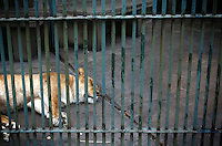 CHINA. Hubei Province. Wuhan. A lion in an enclosure in Wuhan zoo. In many of China's 'second-tier' cities, away from the modern zoos in the megacities of Beijing and Shanghai, hide a plethora of smaller unknown zoos. In these zoos, what can only be described as animal abuse is subtly taking place in the form of deprivation of light, space, sanitation and social contact with other animals. Living in awful conditions, these animals spend there days entertaining tourists who seem oblivious to the animals' plight and squalid existence. 2008.