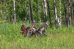Tom turkeys attempting to mount a hen decoy.